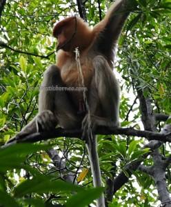 Mangrove Forest Conservation Area, Nature Reserve, proboscis monkey, Protected Animals, adventure, backpackers, destination, Borneo, Obyek wisata alam, Tourism, tourist attraction, travel guide, crossborder, 婆罗洲, 旅游景点