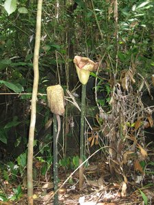 Borneo, Sarawak, rafflesia, lundu, largest flower, mountain, nature, national park, tallest flower, amorphophallus hewittii