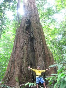 Rotting giant, the Meranti tree could have fetched a fortune for its lumber.