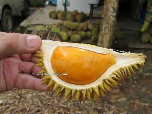 borneo, kalimantan, indonesia, sarawak, malaysia, local,  wild, durian, king of fruits, stinky, smelly, hybrid, exotic