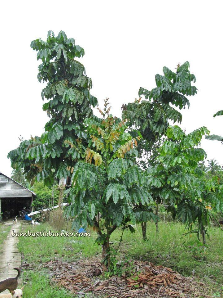 Green Exotic Fruits 'Crystal' Fruit (Matoa...