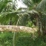 ancient, antique, Asajaya, chinese, copra, exotic fruit, farmhouse, kelapa, Malaysia, nature, outdoor, samarahan, Sambit, village, 雅沙再也, Sarawak,