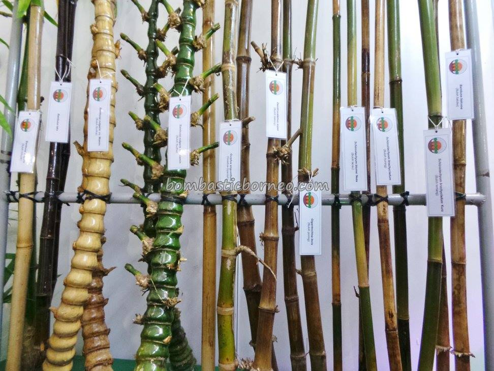 Farmers Agriculture Bamboo Species Sarawak Malaysia Borneo 01