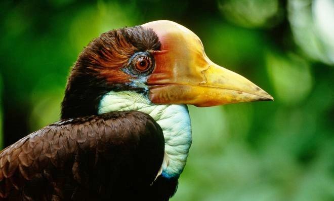 casque, dayak, Hornbill Ivory, Indigenous People, indonesia, Ivory Carving, kalimantan, Rhinoplax Vigil, Sarawak, largest bird