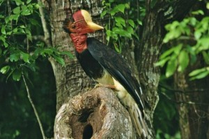 casque, dayak, Hornbill Ivory, Indigenous People, Malaysia, Ivory Carving, kalimantan, Sarawak, largest bird