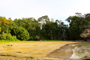 adventure, Bornean bearded pig, Borneo, hiking, jungle, macaque, mangrove forest, nature, outdoors, proboscis monkey, rainforest, Taman Negara Bako, Teluk Assam Beach, Tourism, tourist attraction, travel guide, trekking, wildlife