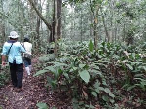 authentic, Desa Kabo Jaya, ecotourism, ecowisata, Kutai National park, Obyek wisata, orang utan, prevab, primary jungle, rainforest, Sangatta, taman nasional, Tourism, tourist attraction, hiking, wild plant, wildlife