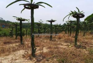 Samarinda, Bontang Kuala, Borneo, east kalimantan, kalimantan timur, Kota Bontang, exotic fruits,