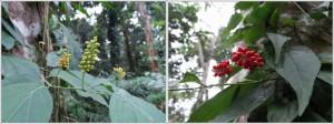 obat, east kalimantan, ecotourism, hiking, indonesia, Kutai National park, nature, Obyek wisata, outdoors, primary jungle, rainforest, Sangatta, trekking, wild plant,