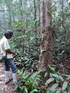 Taman Nasional, authentic, Desa Kabo Jaya, kalimantan timur, ecotourism, ecowisata, hiking, nature, outdoors, primary jungle, rainforest, Sangatta, Tourism, tourist attraction, trekking, wild plant, wildlife