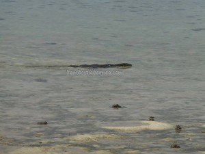 Biawak air, beach, Berau, Borneo, coral, Derawan Archipelago, green turtle, hidden paradise, Manta Alfredi, marine life, Obyek wisata, outdoors, Pulau, Dive Lodge Resort, snorkeling, Tourism, tourist attraction, underwater,