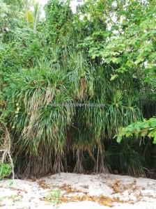 Pandanus Fruit, beach, Berau, Borneo, Derawan Archipelago, green turtle, marine life, Obyek wisata, outdoors, Island, Dive Lodge Resort, snorkeling, Tourism, tourist attraction, travel guide, underwater, vacation