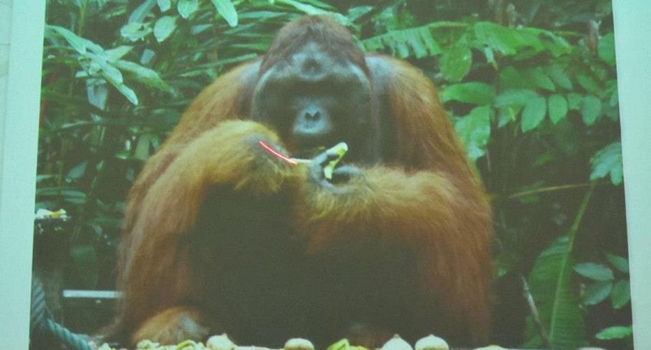 Borneo, endangered species, forest man, indonesia, jungle, kalimantan, malaysia, national park, pongo pygmaeus, primates, rainforest, tourist attraction, Useful information, conservation, educational,