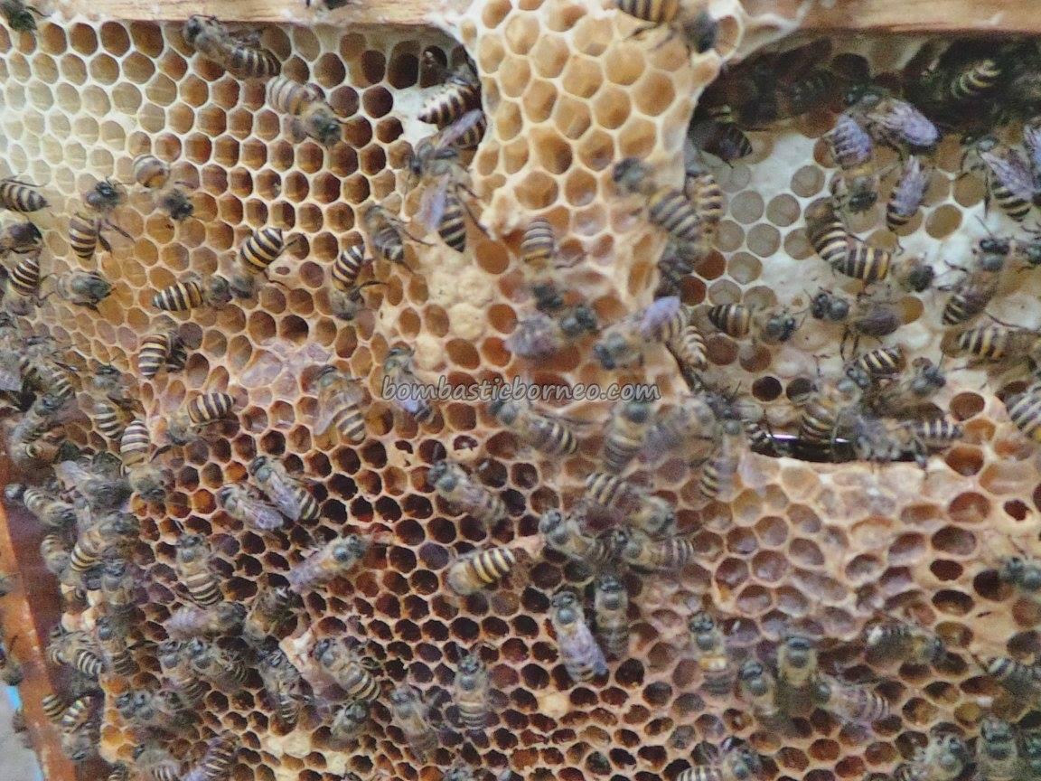 adventure, Borneo, healthy, honey bee farm, Kampung, village, Kudat, malaysia, Matunggong, native, organic food, Tourism, tourist attraction, traditional, travel guide, 贡比绍村, 养蜂場
