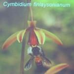 Biology Studies, Carrion Fly, Flower, Fruit Fly, Peninsular, Pollinated, Pollinator, Wild Orchid, 传粉者, 授粉, 果蝇, 生物学研究, 腐肉蝇, 蜜蜂, 野生兰花, 马来西亚