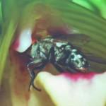 Bee, Biology Studies, Flower, Fruit Fly, nature, Peninsular, Pollination, Wild Orchid, 传粉者, 授粉, 果蝇, 生物学研究, 腐肉蝇, 蜜蜂, 野生兰花, 马来西亚