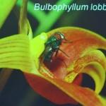 Bee, Biology Studies, Flower, Fruit Fly, Peninsular, Pollinator, Wild Orchid, 传粉者, 授粉, 果蝇, 生物学研究, 腐肉蝇, 蜜蜂, 野生兰花, 马来西亚