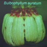 Bee, Biology Studies, Carrion Fly, flora, nature, Peninsular, Wild Orchid, 传粉者, 授粉, 果蝇, 生物学研究, 腐肉蝇, 蜜蜂, 野生兰花, 马来西亚