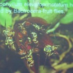 Bee, Biology Studies, Carrion Fly, flora, Flower, Peninsular, Pollinated, Wild Orchid, 传粉者, 授粉, 果蝇, 生物学研究, 腐肉蝇, 蜜蜂, 野生兰花, 马来西亚