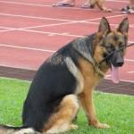 Borneo, championship, competition, Kuching, malaysia, pets lover, Sarawak Kennel Association, 古晋市, 德国牧羊犬, 沙捞越, 猫城