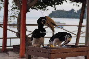 backpackers, Pulau, Island, Perak, destination, oriental pied, 犀鸟, Sunset View Chalet, Tourism, tourist attraction, travel guide, 旅游景点, 邦咯岛, 马来西亚, 霹靂州