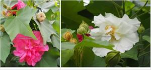 hibiscus mutabilis, backpackers, 中加里曼丹, Desa Tumbang Malahoi, Gunung Mas, Rungan, Rumah Betang Toyoi, Dayak Ngaju, homestay, longhouse, Obyek wisata, Tourism, travel guide,