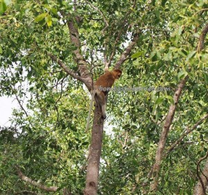 adventure, outdoors, nature, Boat ride, Borneo, island, South Kalimantan, Sungai Martapura, Barito Kuala, tourist attraction, tourism, travel guide, Bekantan, proboscis monkey, 长鼻猴