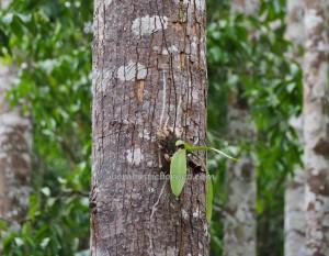 Borneo, Pulau Laut, Island, Sebelimbingan village, Hutan Wisata Meranti, Shorea bracteolate, conservation, ecowisata, nature, outdoors, Tourism, tourist attraction, travel guide, 南加里曼丹, 婆罗州