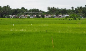 Kandangan, authentic, Indigenous, native, Borneo, Hulu Sungai Selatan, Indonesia, South Kalimantan, paddy field, sawah padi, Tourism, tourist attraction, obyek wisata, travel guide, village,