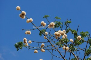 Silk cotton tree, Kapok tree, blooming, flowering, Bombax Ceiba, exotic plant, Borneo, Kuching, Sarawak, Malaysia, Merdeka Square, heritage, nature, Tourism, travel guide