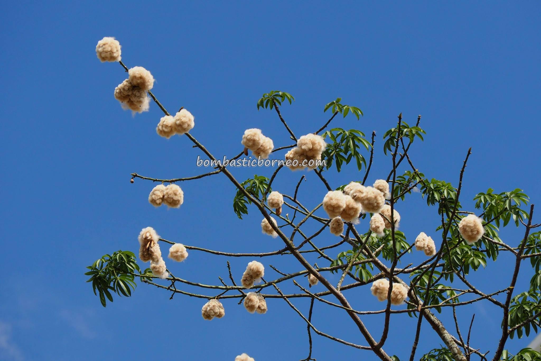 Silk Cotton Tree blooming in Kuching, Sarawak 古晉沙捞越丝