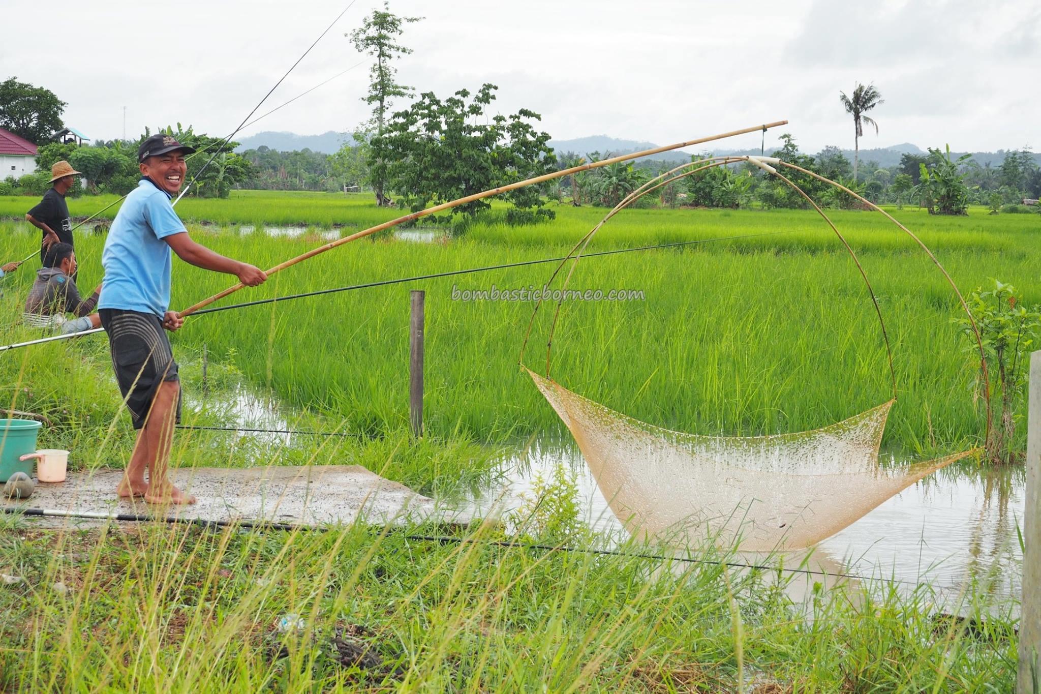 Paddy Fields (Sawah Padi) at Kandangan, Hulu Sungai