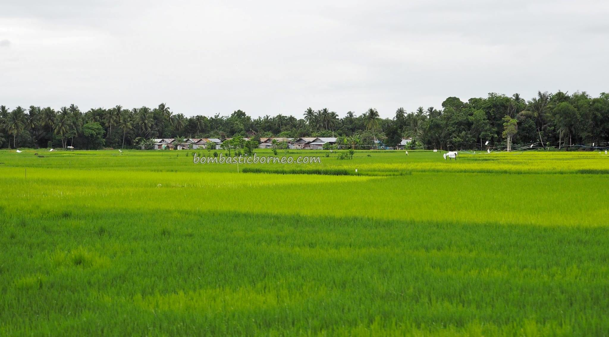authentic, Indigenous, ethnic, Banjarese, native, paddy field, sawah padi, Tourism, tourist attraction, obyek wisata, traditional, travel guide, village, 婆罗州, 稻田景点