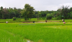 authentic, Indigenous, ethnic, Banjarese, native, Borneo, Hulu Sungai Selatan, Indonesia, Kandangan, paddy field, sawah padi, Tourism, traditional, village, 稻田旅游景点