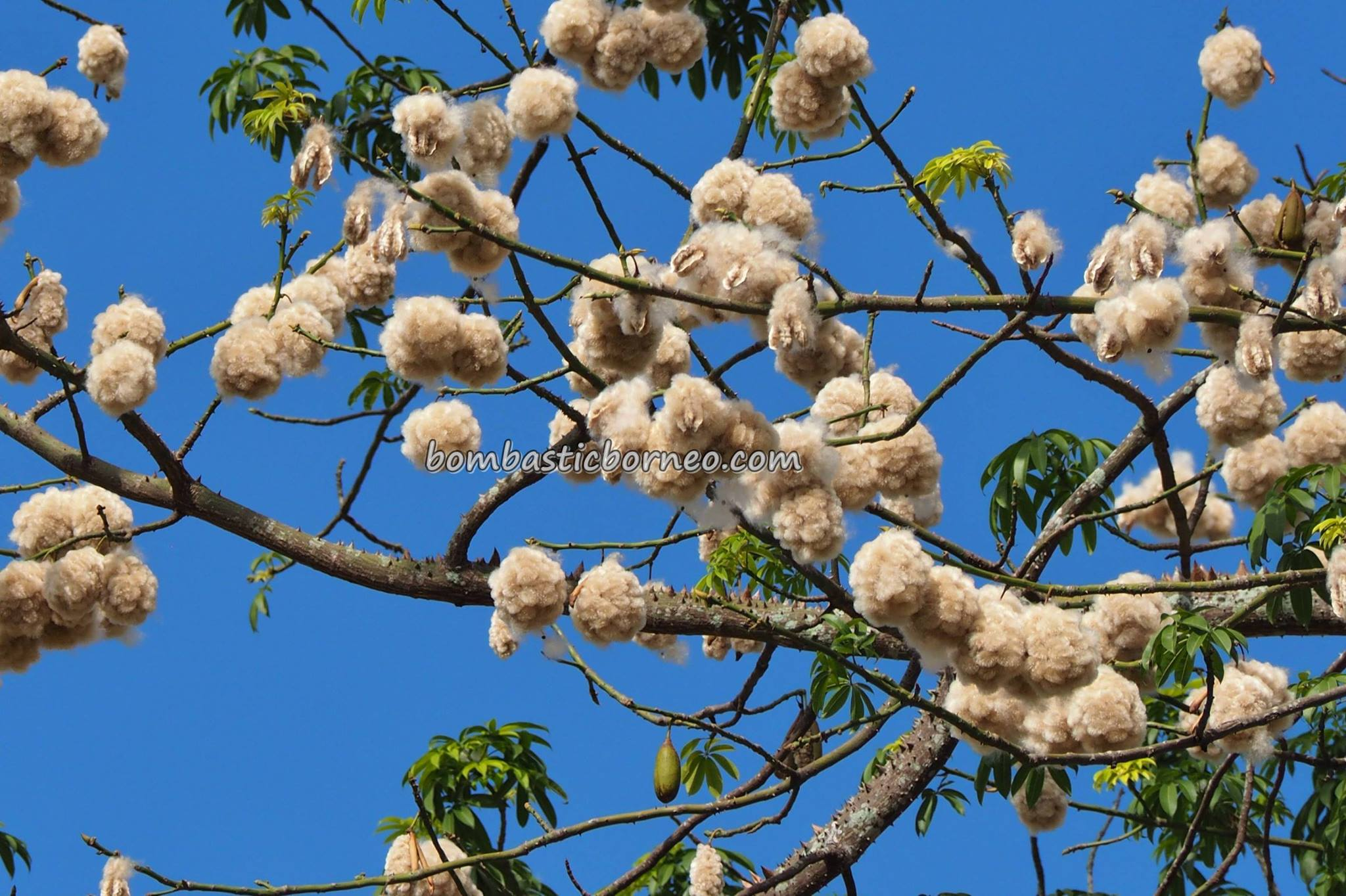 Kapok tree, blooming, flowering, Bombax Ceiba, cotton balls, exotic plant, Malaysia, Borneo, Merdeka Square, nature, outdoors, Tourism, tourist attraction, 沙捞越, 丝棉花树开花