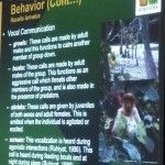 Nasalis Lavartus, Bekantan, nature, conservation, ecology, Borneo, Malaysia, primate, Protected Species, wildlife, Useful information, 沙捞越, 婆罗洲, 长鼻猴