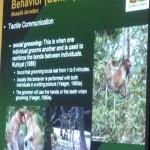 Nasalis Lavartus, Bekantan, nature, conservation, Kuching, Borneo, Malaysia, primate, Protected Species, wildlife, Useful information, 沙捞越, 婆罗洲, 长鼻猴