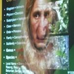 Nasalis Lavartus, Bekantan, Monyet Belanda, conservation, morphology, ecology, Borneo, wildlife, primate, Protected Species, Useful information, 沙捞越, 婆罗洲, 长鼻猴