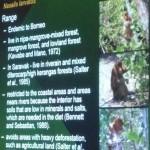 Nasalis Lavartus, Bekantan, Monyet Belanda, morphology, ecology, reproduction, Borneo, Malaysia, wildlife, primate, Protected Species, Useful information, 沙捞越, 婆罗洲, 长鼻猴