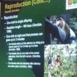 Nasalis Lavartus, Bekantan, Monyet Belanda, nature, rainforest, conservation, morphology, educational talk, Kuching, Malaysia, wildlife, primate, Sarawak Biodiversity Centre, 婆罗洲, 长鼻猴