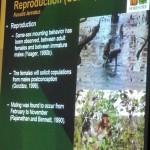 Nasalis Lavartus, Bekantan, Monyet Belanda, nature, conservation, morphology, educational talk, Kuching, Malaysia, Protected Species, Useful information, 沙捞越, 婆罗洲, 长鼻猴