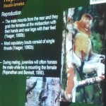 Nasalis Lavartus, Bekantan, Monyet Belanda, nature, conservation, public awareness talk, Borneo, Kuching, wildlife, primate, Useful information, 沙捞越, 婆罗洲, 长鼻猴
