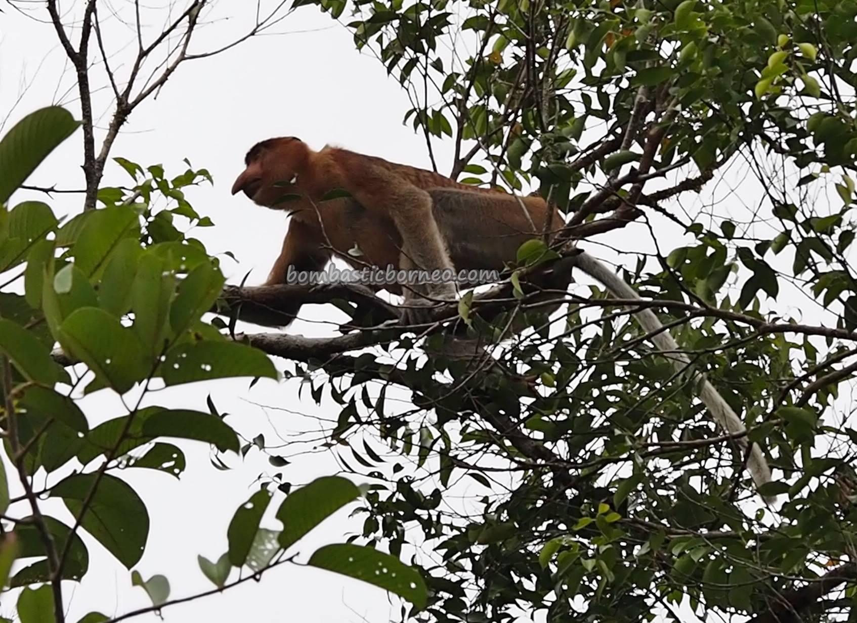 backpackers, Taman Negara, peat swamp forest, primate, wildlife, Protected Species, adventure, river safari, monyet belanda, Borneo, Tourism, tourist attraction, travel guide, 沙捞越婆罗洲, 长鼻猴