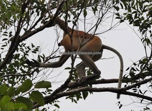 Nasalis Lavartus, adventure, backpackers, Taman Negara, peat swamp forest, primate, wildlife, Protected Species, wetland, river safari, monyet belanda, Malaysia, Tourism, travel guide, 婆罗洲长鼻猴