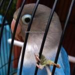Kelab Pekicau Kubah, Pertandingan, bird lover, Gaya burung, Seni Suara, bird, Kenari, Hanging parrot, Mata Putih, Murai Kampung, Oriental magpie robin, 古晋砂拉越, 马来西亚