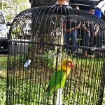 Pertandingan, Gaya burung, Seni Suara, bird singing, event, Malaysia, Hanging parrot, Serindit, bird lover, Murai Batu, White rumped shama, Tourism, town, 古晋砂拉越,