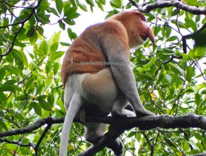 Mangrove Forest Conservation Area, proboscis monkey, Protected Animals, Monyet Belanda, Bekantan, wildlife, backpackers, destination, Borneo, Kota Tarakan, Indonesia, Kalimantan Utara, Obyek wisata alam, Tourism, tourist attraction, travel guide,
