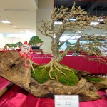 Persatuan Bonsai Sarawak, Association, Kuching, Malaysia, Borneo, Tourism, tray planting, nature, hobby, Japanese art, penjing, penzai, event, exhibition, Ficus Microcarpa,