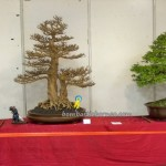 古晋, 砂拉越, 马来西亚, 盆栽, Kuching, Malaysia, Tourism, travel guide, tray planting, nature, hobby, exhibition, show, Podocarpus Costalis, Sysigium Califlora