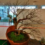 古晋砂拉越, 马来西亚, 盆栽, Association, Borneo, tray planting, nature, hobby, Japanese art, penjing, penzai, event, show, 嘉宝果, 榕树,